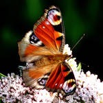 Peacock Butterfly by Dieffi