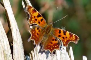 Comma Butterfly by Dieffi