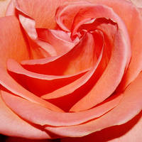 A rose for Patricia by Dieffi
