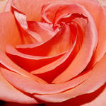A rose for Patricia