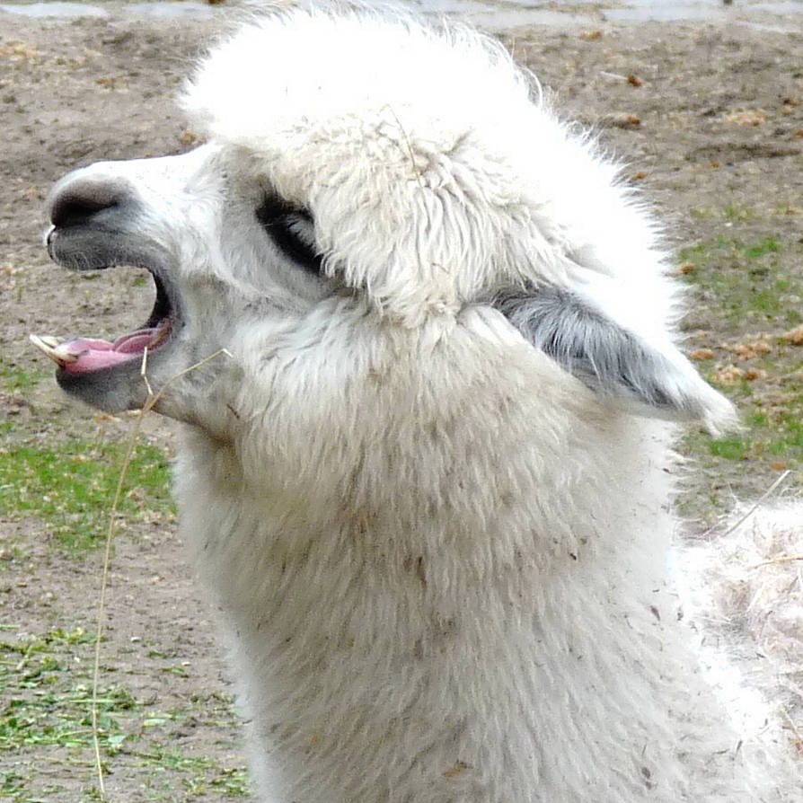 cry llama cry by Dieffi