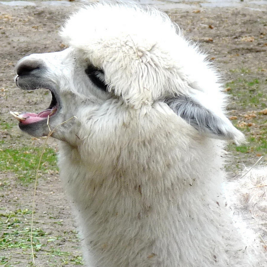 Picture Of A Llama Crying: Cry Llama Cry By Dieffi On DeviantArt