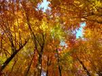 Golden beech forest