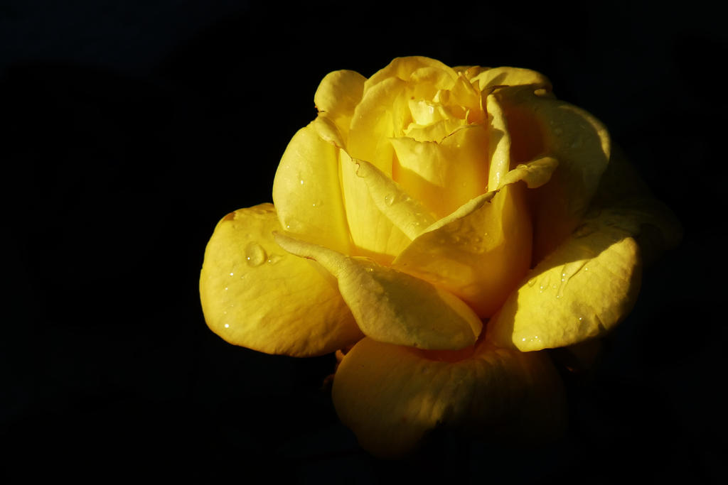 A rose for Mariette by Dieffi