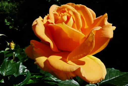 A rose for Camelia