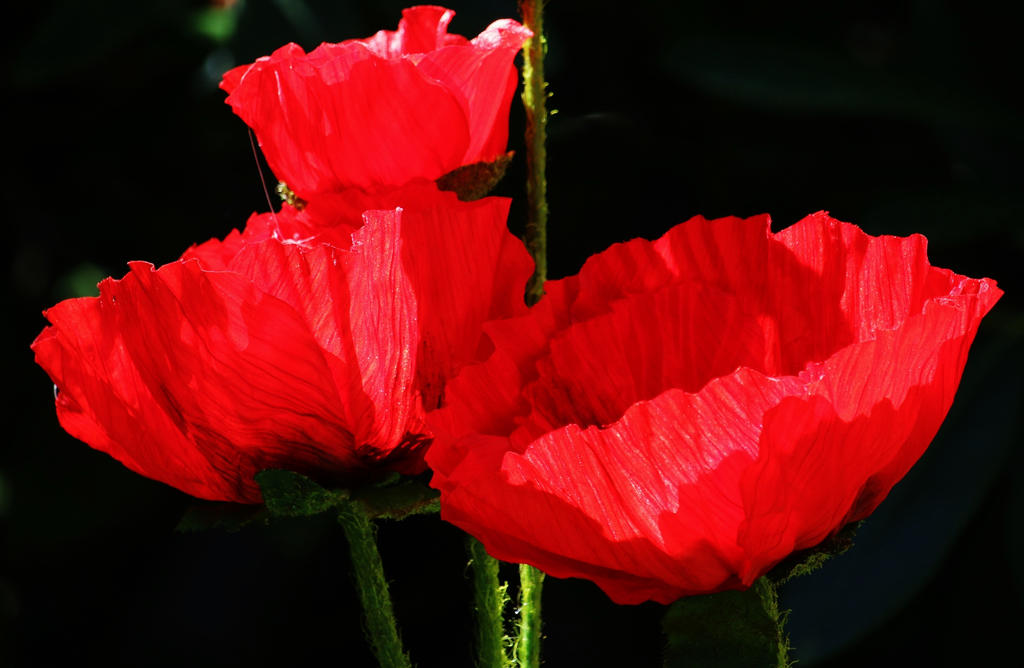 red poppy by Dieffi