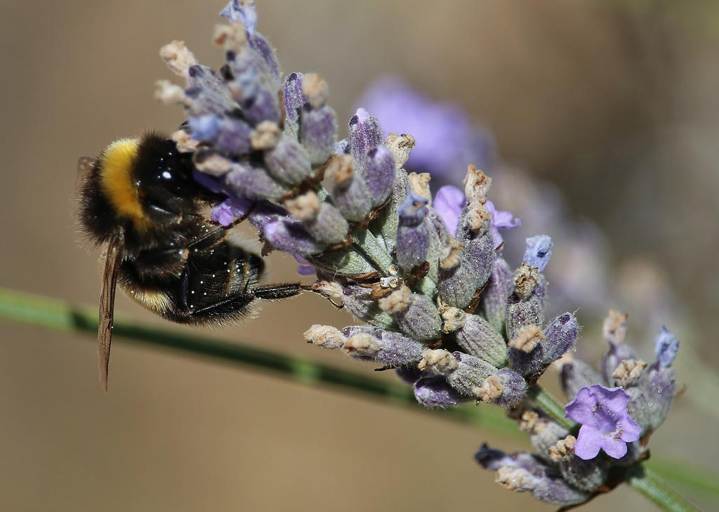 lavender by Dieffi