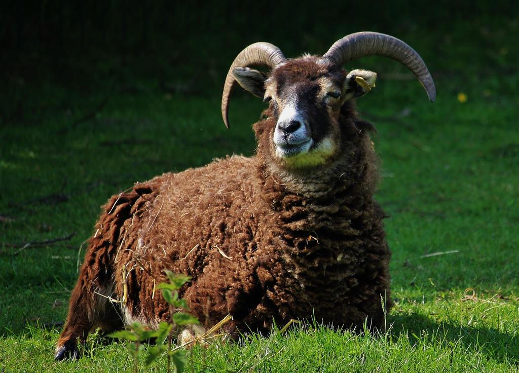 the ram by Dieffi