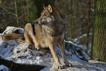 watching wolf