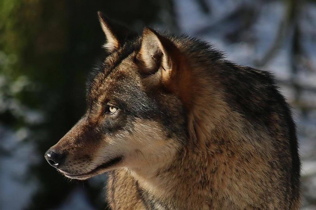 portrait of a wolf by Dieffi