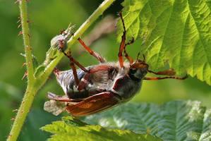 free klimbing May beetle by Dieffi