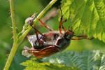free klimbing May beetle