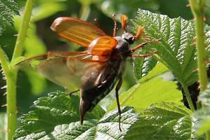 flying May beetle by Dieffi