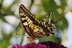Daily butterfly 1