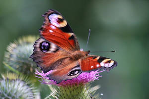 Daily butterfly 3 by Dieffi