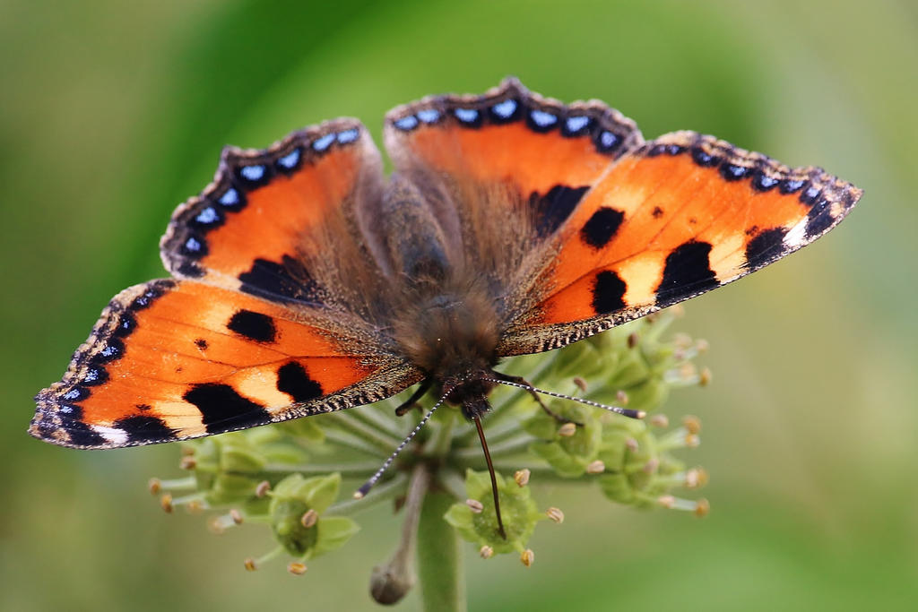 Daily butterfly 14 by Dieffi