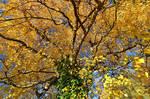 autumnal birch