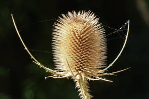 teasel in autumn by Dieffi