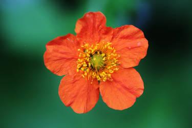 A flower for Lea by Dieffi