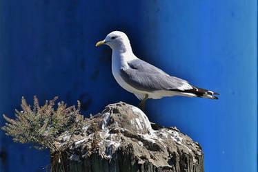 gull on blue by Dieffi