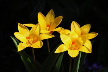 wide open tulips by Dieffi