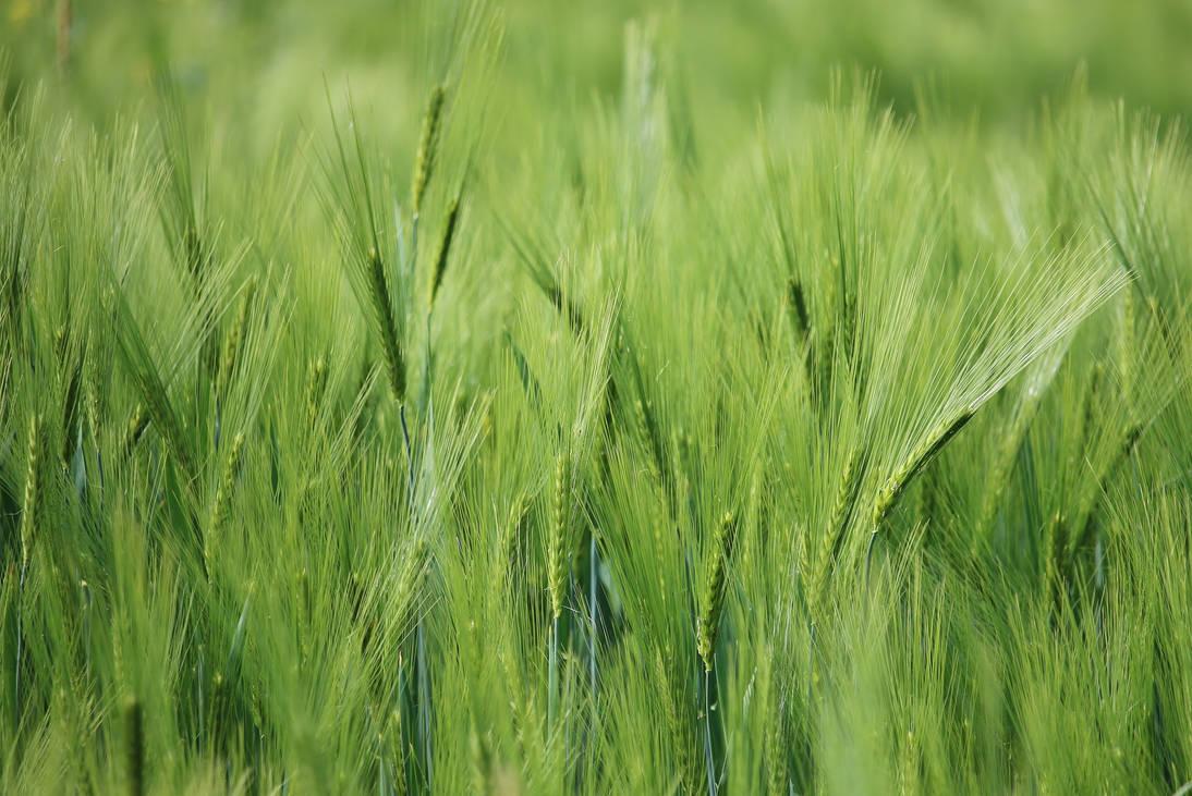 Wheat by Dieffi