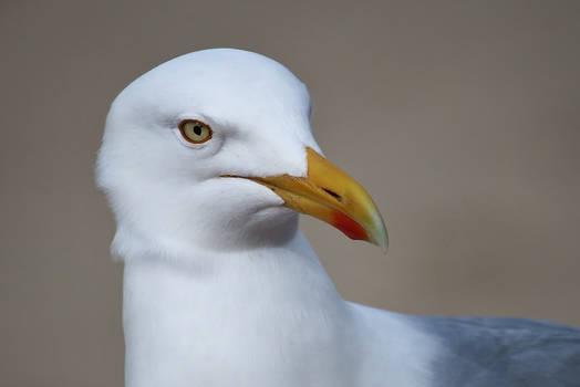 kind gull