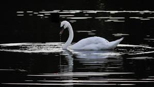 swan in black