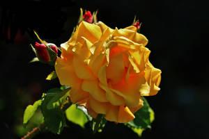 A ROSE FOR PAMELA