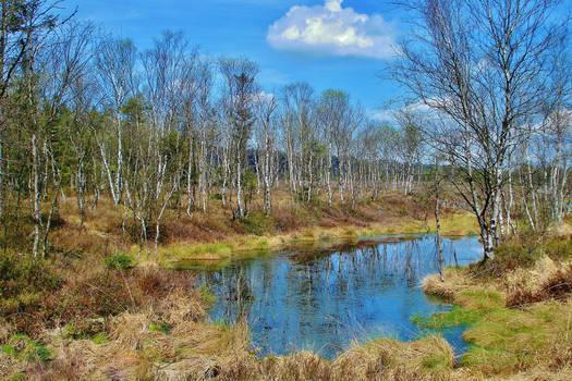 birches in a bog
