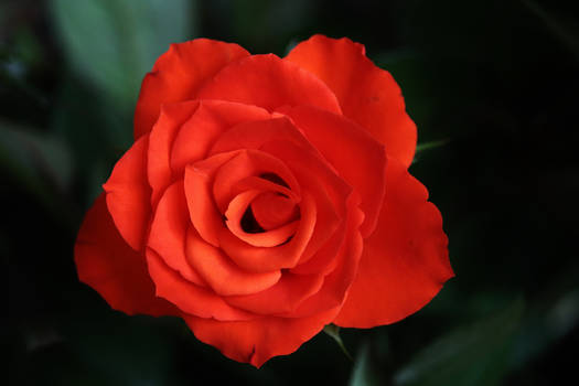 a rose for Angeline