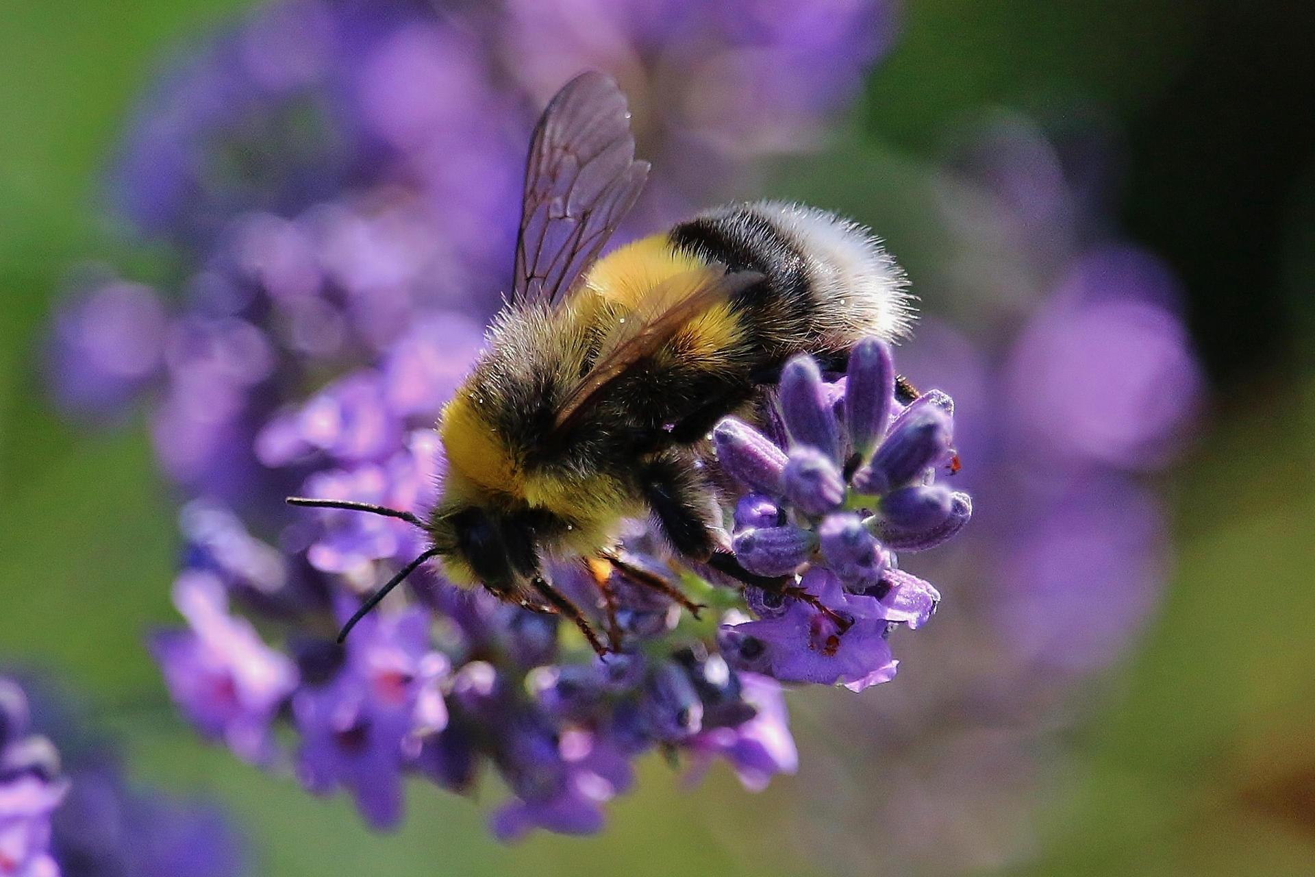 A bumblebbe on lavender