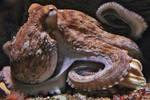 octopus by Dieffi