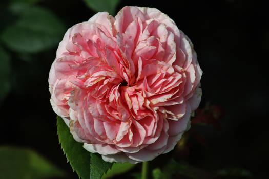 A rose for Simona