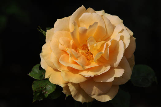 A rose for Gloria