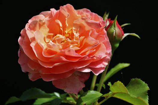 A rose for Irina