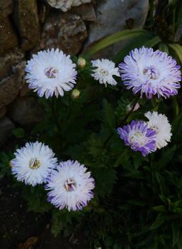 flowers in Etara