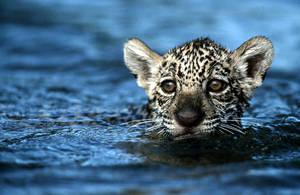 Baby jaguar....