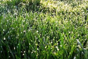 Dewdrop Grass