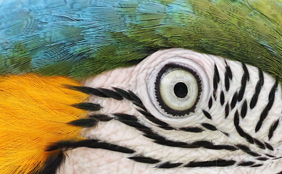 Parrot Eye by stinebamse