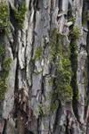 Old Bark 1 by MystStock
