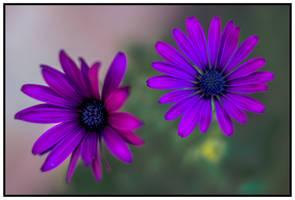 Purple flowers by nicholls34