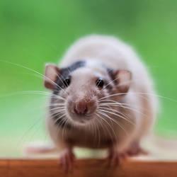 Chase 1 - Dumbo Fancy Rat