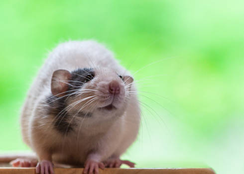 Chase 3 - Dumbo Fancy Rat
