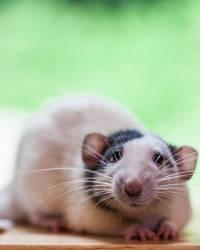 Chase 4 - Dumbo Fancy Rat
