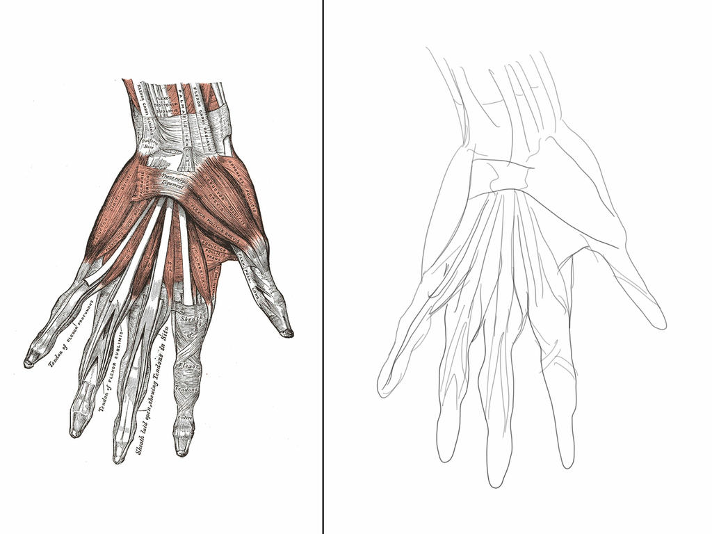 ANATOMY: THE HAND - MUSCLES by akunoneko