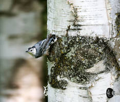 White-breasted-Nuthatch--