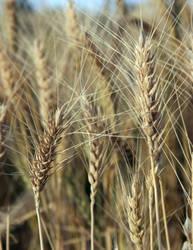 wheat field 01 by greenday-ra