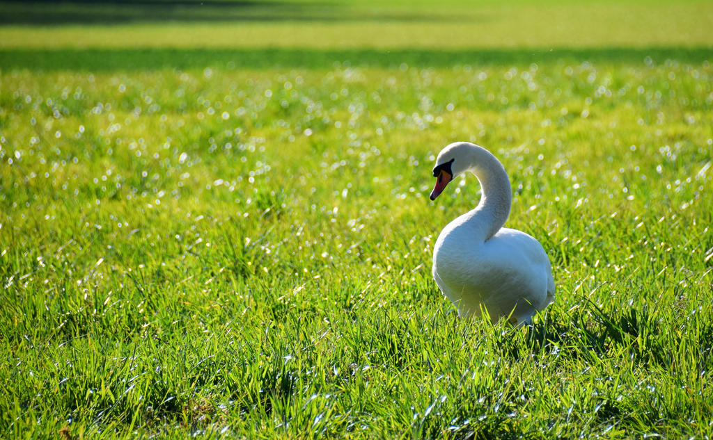 Swan I by Rela1985