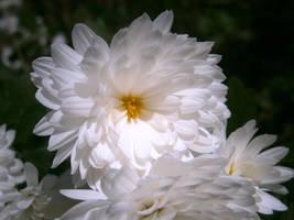 White Chrysanthemum by Lola22
